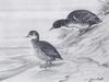 Heteronetta atricapilla by John Charles Phillips (1876-1938)