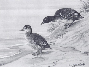 John Charles Phillips - Black-headed duck by John Charles Phillips, from his book A Natural History of the Ducks.