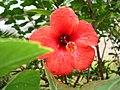 Hibiscus -私の友人のため-Cim bom forever ^ - panoramio.jpg