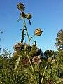 Hibiscus trionum sl50.jpg