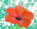 Hibiskusblüte 3.jpg