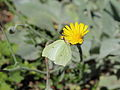 Hieracium tomentosum-IMG 5614.jpg