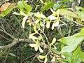 Hiptage benghalensis 猿尾藤 2 (天問).jpg