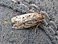 Hofmannophila pseudospretella (Oecophoridae) - (imago), Arnhem, the Netherlands.jpg