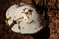 Hoher Vogelsberg Breungeshainer Heide Geiselstein Fomitopsis pinicola Guttation Picea bot.png