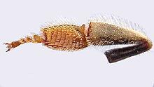 Zampa posteriore dell'ape (lato interno). Sul primo tarsomero sono evidenti le serie trasversali di setole che formano la spazzola.