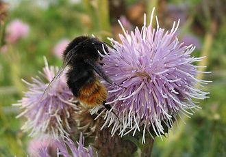 Cirsium - Image: Honeybee thistle
