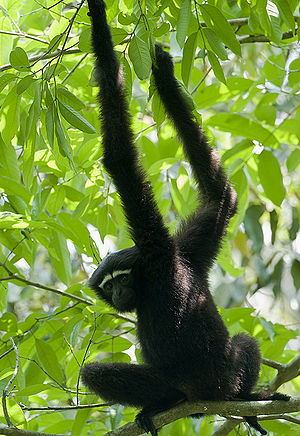 Cachar district - Hoolock gibbon