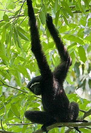English: A male Western Hoolock Gibbon (Hooloc...