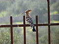 Hoopoe in the Valley of the Cross (6537506899).jpg