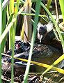 Horned Grebe nesting.jpg