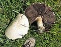 Horse Mushroom - Flickr - gailhampshire.jpg