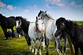 Horse herd in Wales (Unsplash).jpg