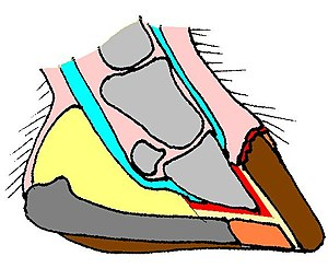 Hoof - Sagittal section of a wild horse hoof.  Pink: soft tissues;  light gray: bone;  blue: tendons;  red: corium; yellow: digital cushion;  dark gray: frog;  orange: sole;  brown: walls