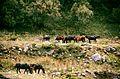 Horses elbrus.jpg