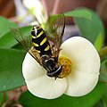 Hover fly. Syrphidae. Dasysyrphus albostriatus - Flickr - gailhampshire.jpg