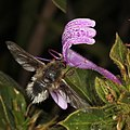 Hoverfly at flower in Walter Sisulu National Botanical Garden (36684176951).jpg