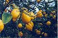 Huerto de limones en Benezujar, Alicante - panoramio.jpg
