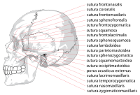 Human skull side suturas right.svg