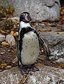 Humboldt-Pinguin Spheniscus humboldti Tierpark Hellabrunn-1.jpg