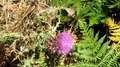 File:Hummingbird hawk-moth (Macroglossum stellatarum).webm