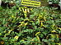 Hungarian chilli from Lalbagh Flower Show August 2012 4810.JPG