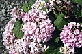Hydrangea macrophylla Endless Summer 0zz.jpg