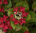 Hydrangea macrophylla Rotschwanz B.jpg