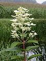 Hydrangea paniculata 04.JPG