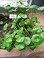 Hydrocotyle bonariensis - Berlin Botanical Garden - IMG 8713.JPG