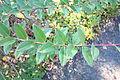 Hypericum forrestii - Quarryhill Botanical Garden - DSC03327.JPG
