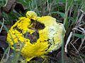 Hypomyces chrysospermus parasite.jpg