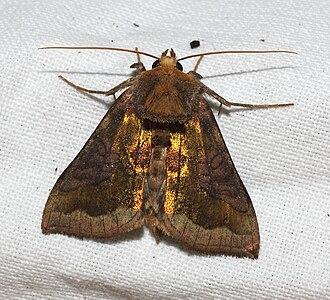 Diachrysia chrysitis - Image: IK Al 20100815 Schmetterling B