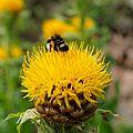 IMG 1540-Centaurea macrocephala.jpg