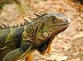 Iguana en Medellin, Colombia (Unsplash).jpg