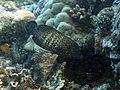 Ikan Kerapu.jpg