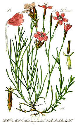 Illustration Dianthus deltoides1.jpg