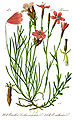 Illustration Dianthus deltoides1.jpg