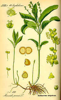 Illustration Mercurialis perennis0.jpg