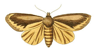 <i>Tifama</i> Genus of moths