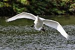 Incoming!!! - Stanborough Lakes (29232080991).jpg