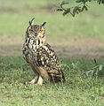 Indian Eagle Owl (Bubo bubo bengalensis) (14824135114).jpg
