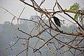 Indian Pond Heron - Santragachi Jheel - Howrah 2017-12-25 5679.JPG