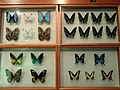 Insects - Kunming Natural History Museum of Zoology - DSC02562.JPG