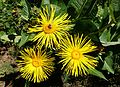 Inula magnifica - UBC Botanical Garden - Vancouver, Canada - DSC07782.jpg