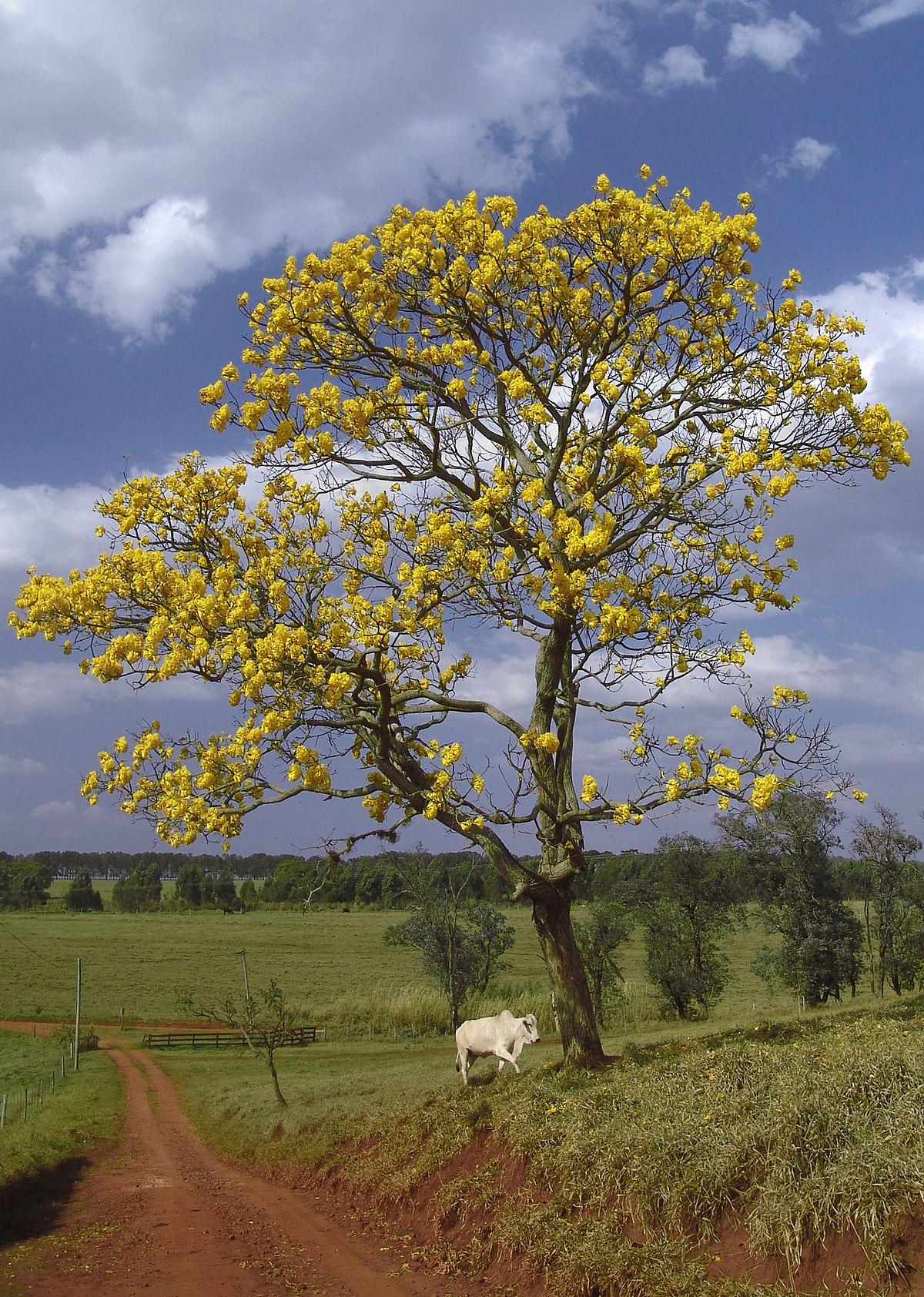 Handroanthus chrysanthus wikipedia la enciclopedia libre for Poda de arboles zona sur