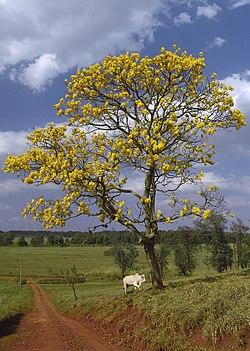 """El Araguaney, árbol nacional de Venezuela.   Este árbol puede apreciarse en todo su esplendor hacia el mes de mayo, hecho por el que el escritor y ex-presidente Rómulo Gallegos denominara a este mes como """"la primavera de oro de los araguaneyes""""."""