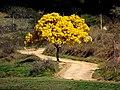 Ipê Amarelo. - panoramio (1).jpg