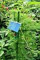Ipomoea quamoclit - Urban Greening Botanical Garden - Kiba Park - Koto, Tokyo, Japan - DSC05362.jpg