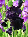 Iris 'Old Black Magic' 02.JPG